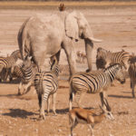 A group of Zebra, antelope, and elephant
