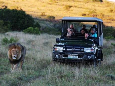 Game ranger students in a safari car follow a lion in the evening shade. Photographed in South Africa