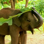 A rescued elephant enjoys playing