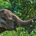 An elephant enjoying eating in Laos
