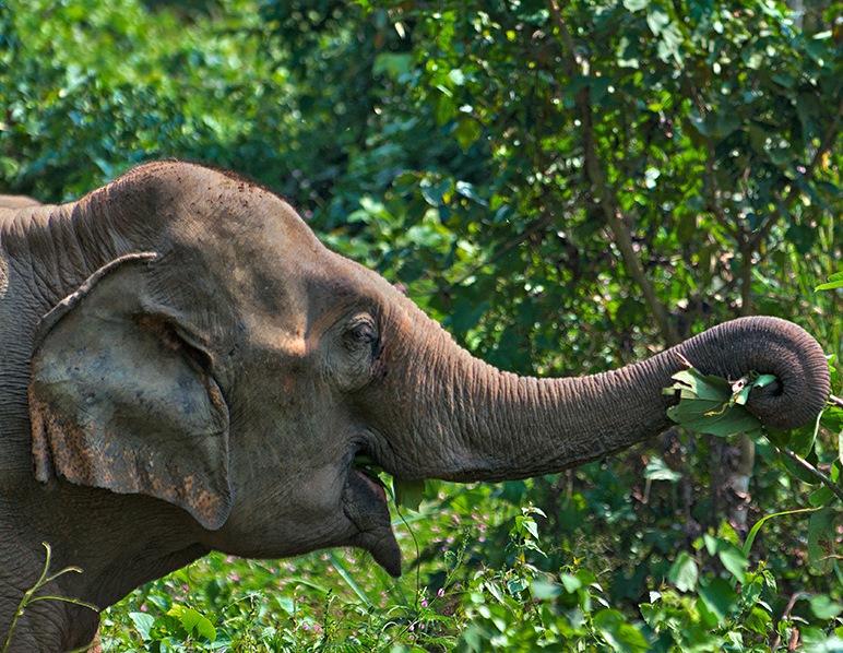 An elephant enjoying eating in Laos