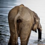 An elephant takes a drink at the lake