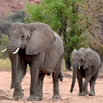 A mother and baby elephant in the wild in the Namibian desert