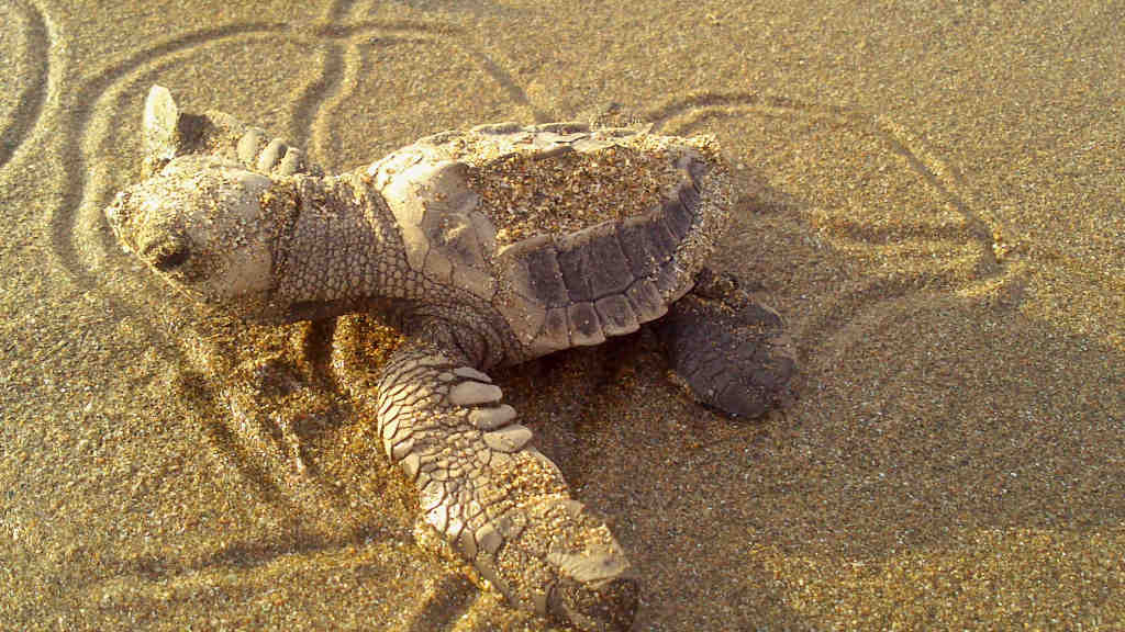 A baby turtle on the beach