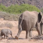 Baby elephant and calf walking away into the desert