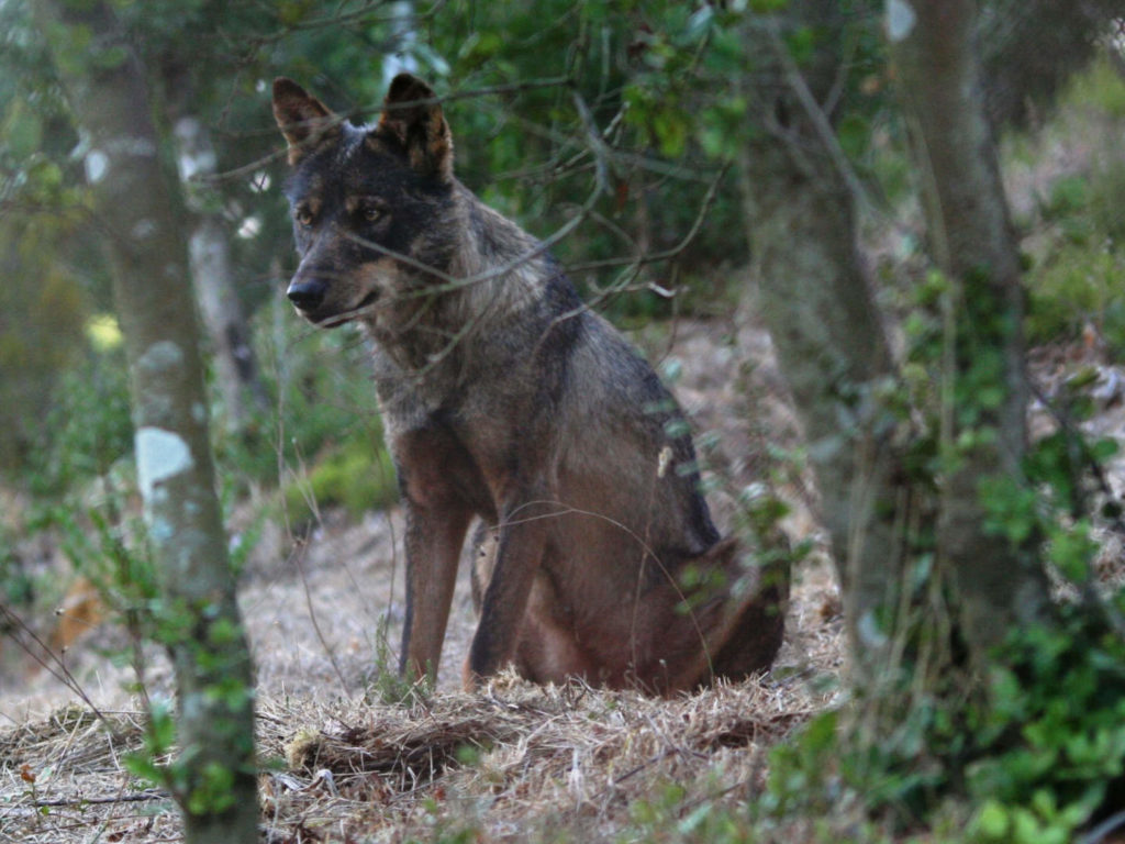 Oyster Reviews: Volunteering with wolves in Portugal