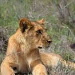 A lion looks out over the game reserve