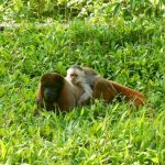 Two monkeys in the grass