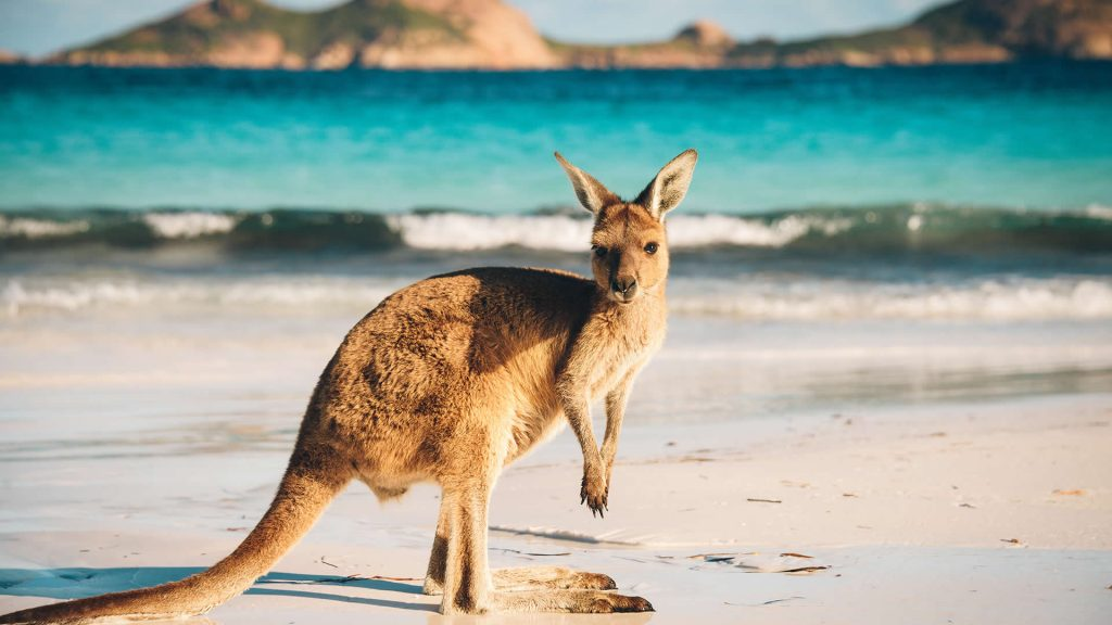A kangaroo visits the beach in Australia
