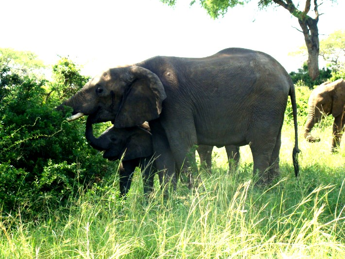 Elephants on safari in Uganda