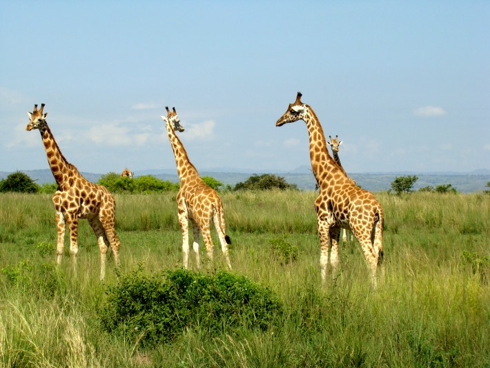 See giraffes on safari in Uganda after volunteering