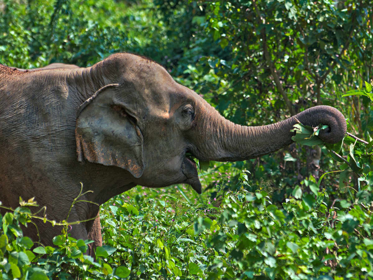 An elephant grazes in the wild at the Laos rescue centre