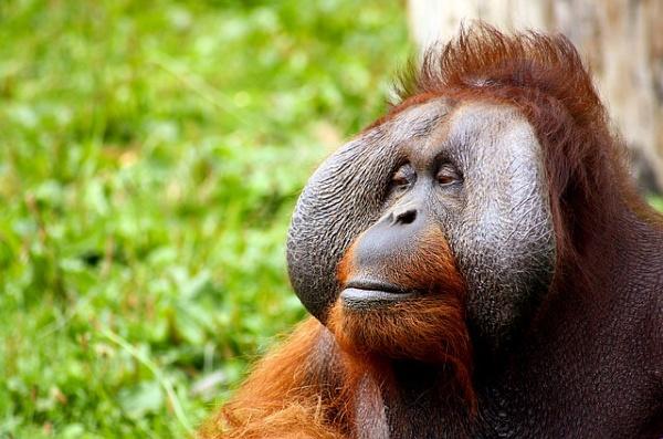 orangutan conservation borneo