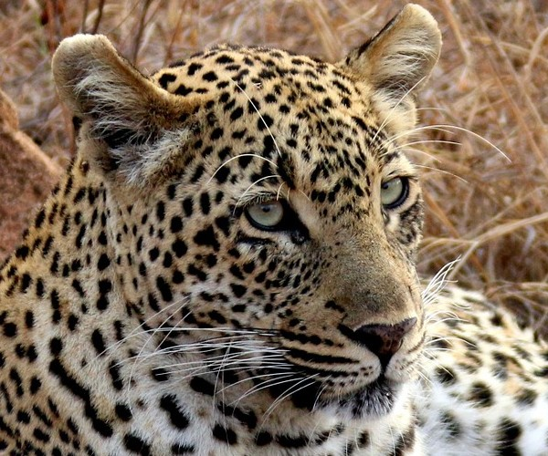 leopard-South Africa
