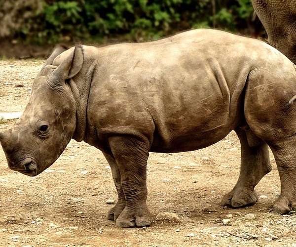 rhino-rhino-calf