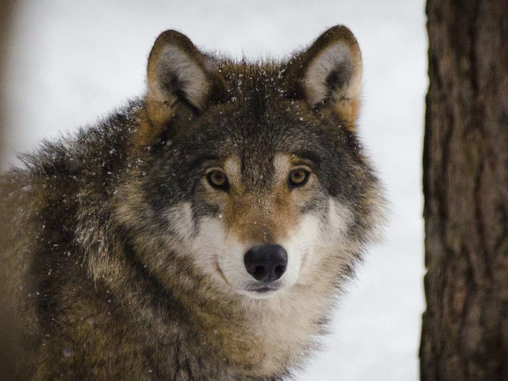 Here is Where to See Wolves in Europe