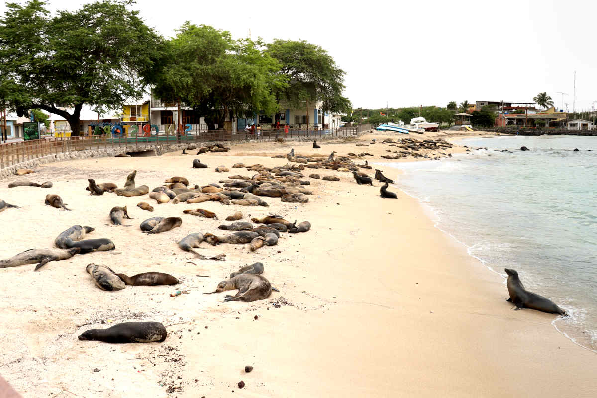 Sea lions lounge casually on the beach in the Galapagos