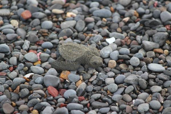 turtle-costa rica
