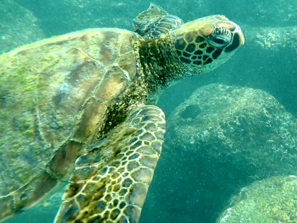 A turtle in the sea, seen while snorkelling whilst travelling the Galapagos