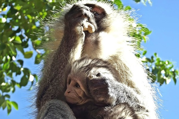 South African Monkey