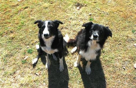 Two border collie dogs looking at the camera