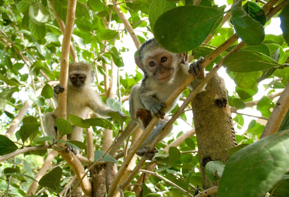 South African Monkeys