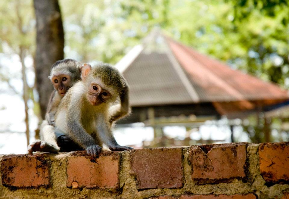 South Africa monkeys