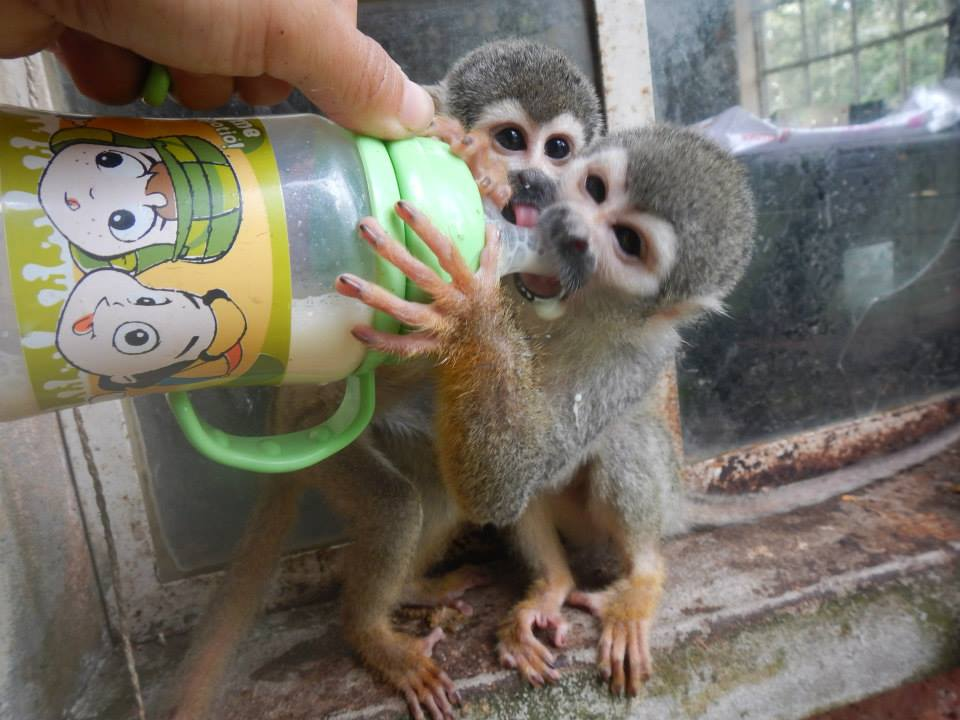Feeding baby monkeys in Ecuador