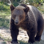 Bear sanctuary volunteering