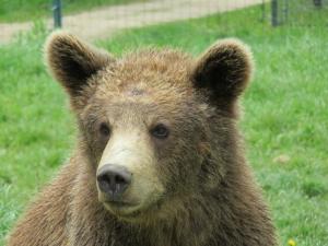 bear volunteer experience
