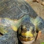 Bella the turtle