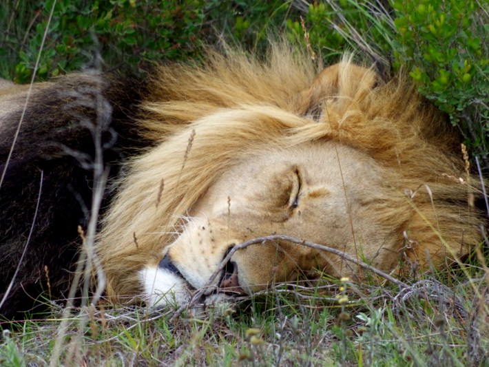 A lion sleeps in the game reserve in South Africa