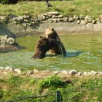 Two bears fighting in water in Brasov Romania