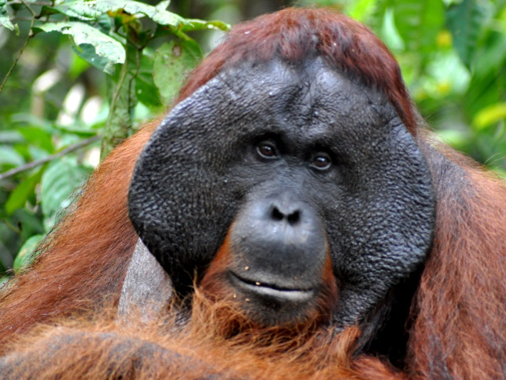 An old orangutan in Borneo
