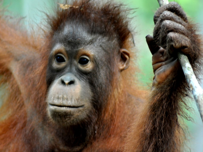 A young orangutan in Borneo