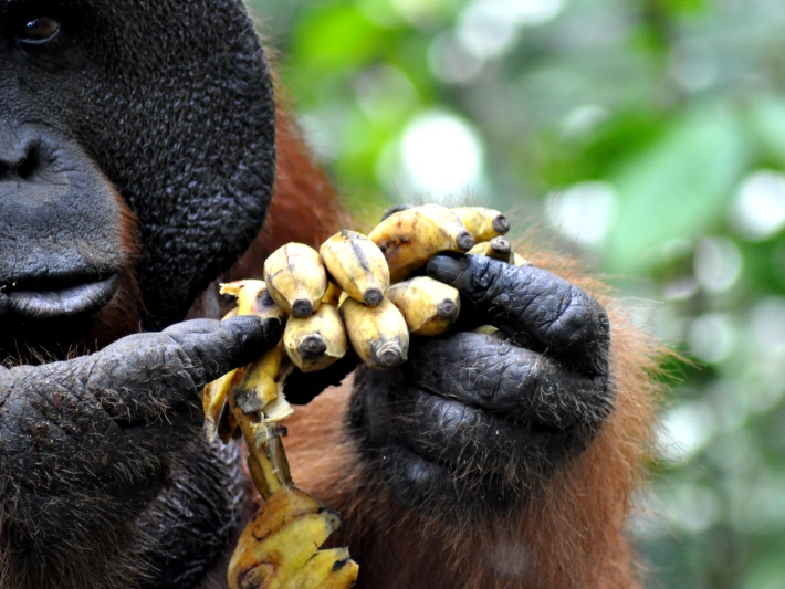 An orangutan fingers his food