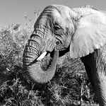 Black and white elephant at a reserve in South Africa