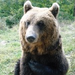 Romanian bear in Brasov