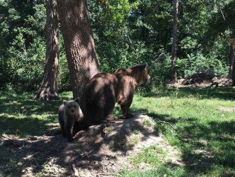 Romania bears at the sanctuary in Brasov