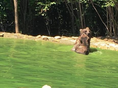 Bears playing in a pool in Brasov