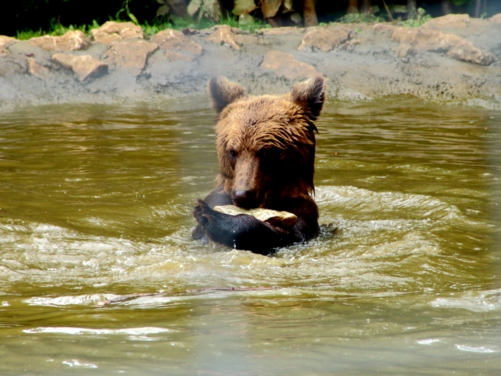 A bear enjoys the pools at the Romania bear sanctuary