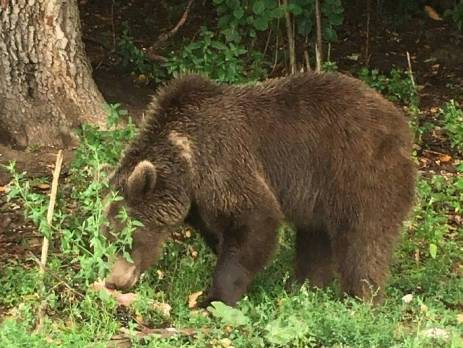 Bear at the sanctuary in Brasov, Romania