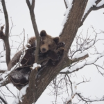 A bear at the Romania bear sanctuary enjoys being able to climb trees and live a life of freedom