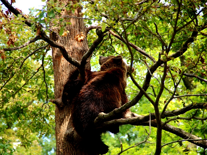 A bear enjoys his newfound freedom at the bear sanctuary in Romania