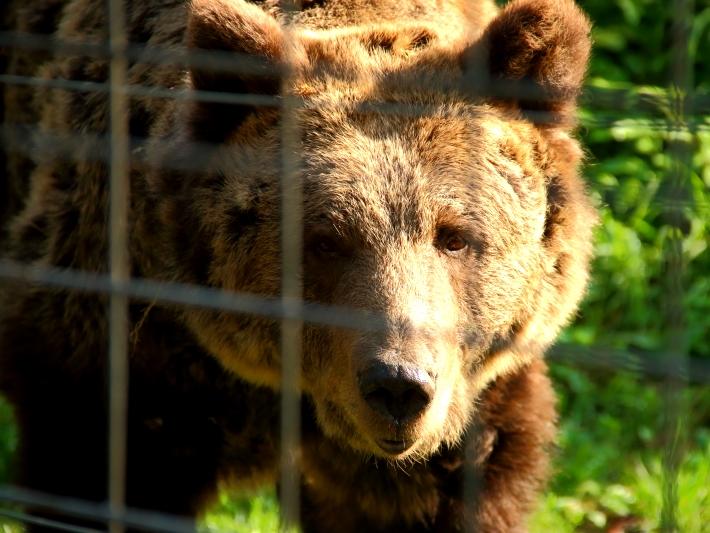 A bear at the romania bear sanctuary