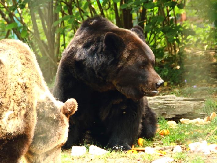 A bear at the bear sanctuary romania