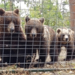 Three bears stand in a line at the bear sanctuary in Romania