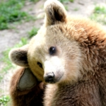 A bear scratches his ear at the sanctuary in Romania