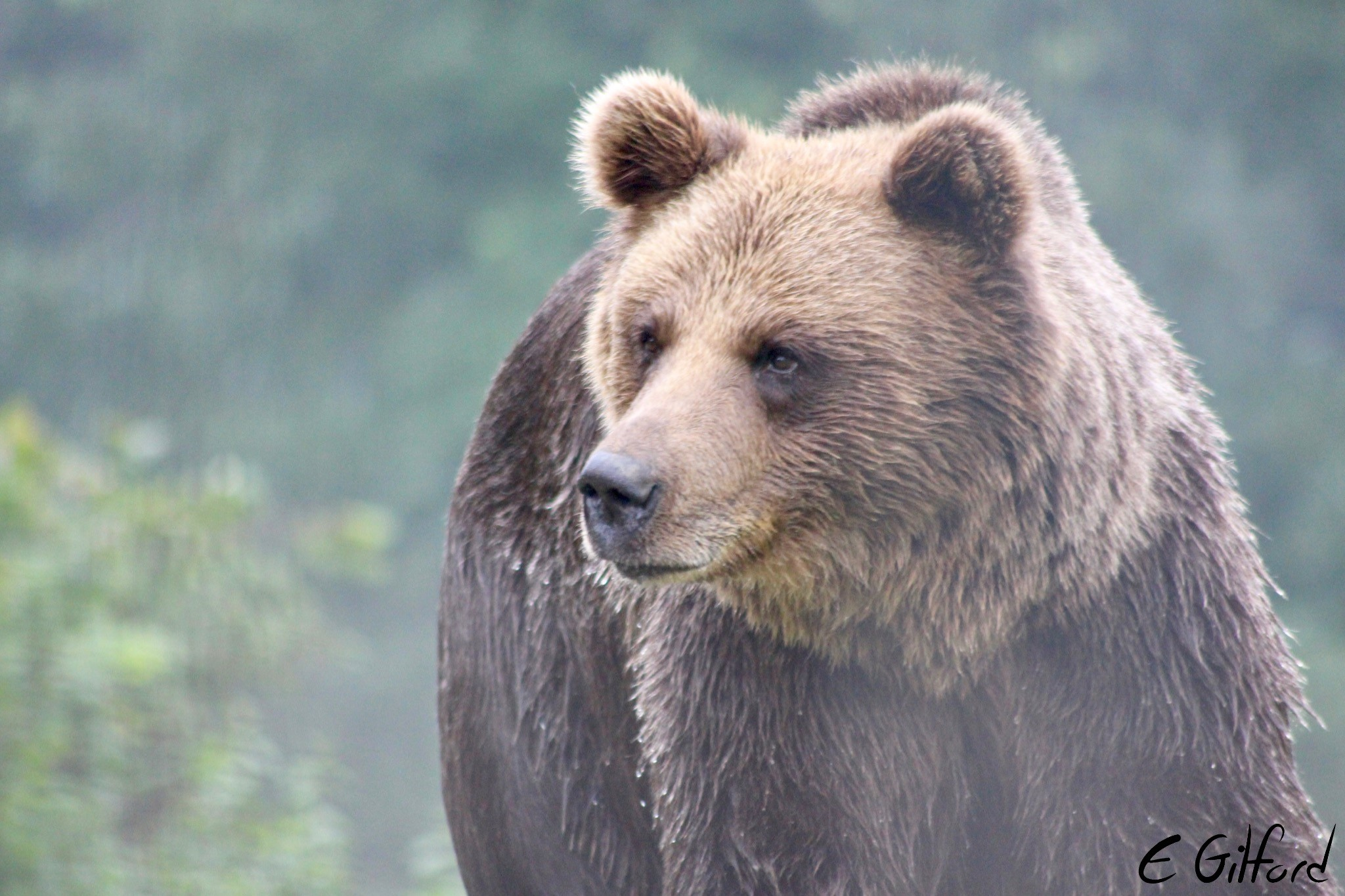 A bear at the bear sanctuary in Romania