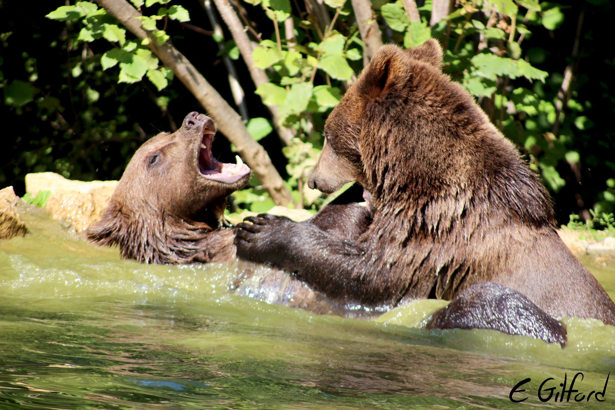 Bears playfight in front of the Oyster volunteers in Romania